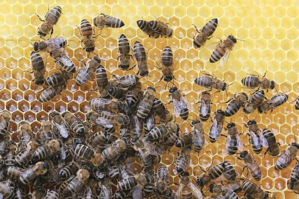 forscher finden behandlung gegen bienen parasiten. Black Bedroom Furniture Sets. Home Design Ideas