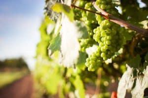 Herbizideinsatz im heimischen Weinbau untersucht