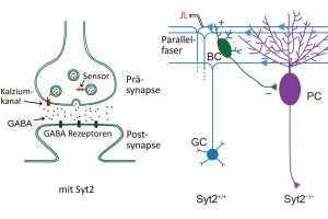 synaptotagmin_fast_sensor