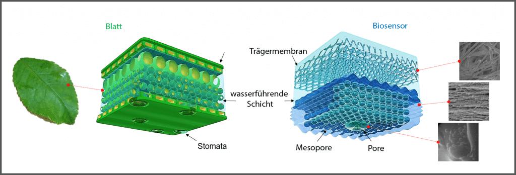 Der Aufbau der Biosensoren, angelehnt an die Blattstruktur. | Grafik: TU Berlin