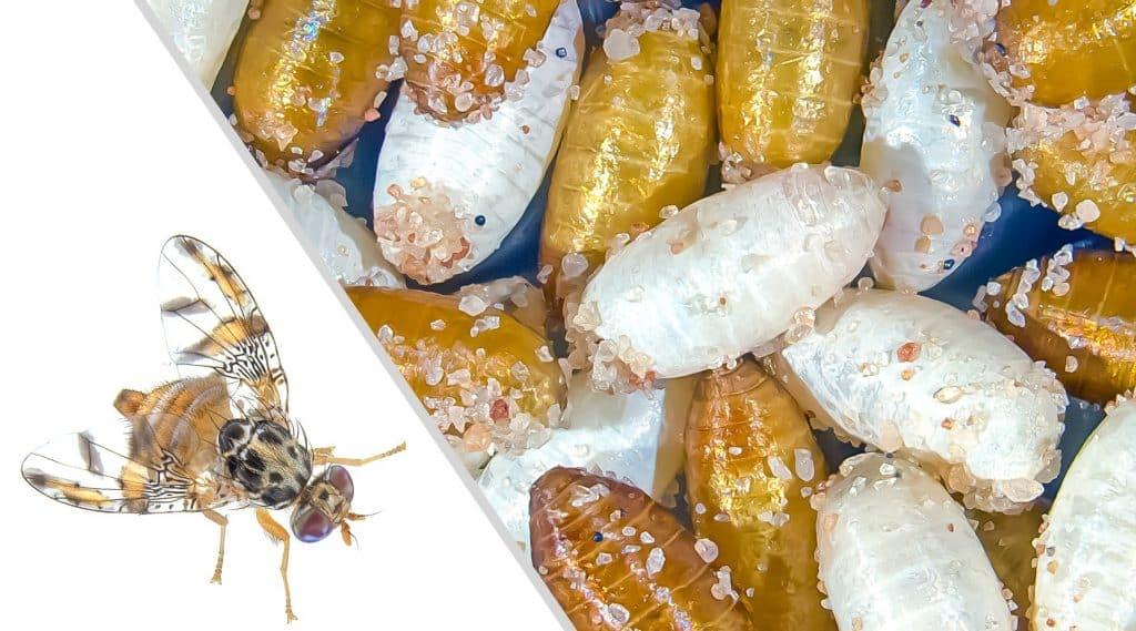 Die Bohrfliege Ceratitis capitata und ihre weißen und braunen Puppen. | Foto: Roswitha A. Aumann und Marc F. Schetelig, JLU