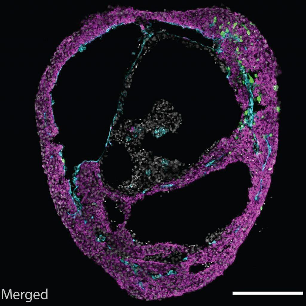 Mikroskopiebild eines selbstorganisierenden Herz-Organoids.   Foto: Mendjan/IMBA