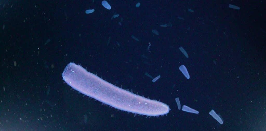 Sie verbringen ihr gesamtes Leben im offenen Ozean und werden oft übersehen, aber sie spielen eine wichtige Rolle im marinen Ökosystem: Pyrosomen, auch unter dem Begriff Feuerwalzen bekannt, sind ein bedeutendes Bindeglied im Nahrungsnetz der Tiefsee. Das zeigen Ergebnisse einer bislang einzigartigen Studie, die von einem internationalen Team unter Leitung des GEOMAR Helmholtz-Zentrums für Ozeanforschung Kiel vor den Kapverdischen Inseln durchgeführt wurde.