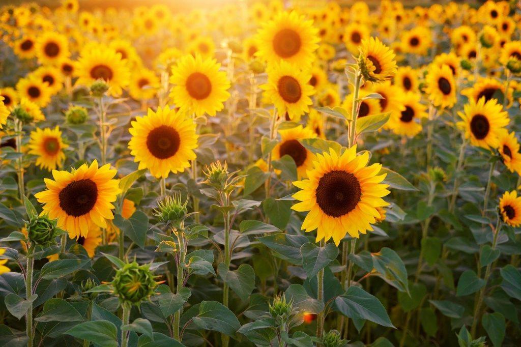 Schmerzmittel aus Sonnenblumen Peptid   Foto: Bruno /Germany from Pixabay