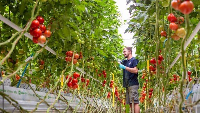 Bio-Gemüsesaatgut: Tomatenpflanzen im Gewächshaus | Foto: Bayer Vegetable Seeds